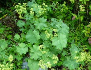 Nothing is prettier than raindrops nestled on Lady's Mantle after a cleansing shower