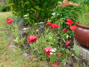Shirley Poppies and Yarrow